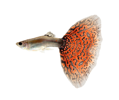 Guppy fish isolated on white background (Poecilia reticulata)