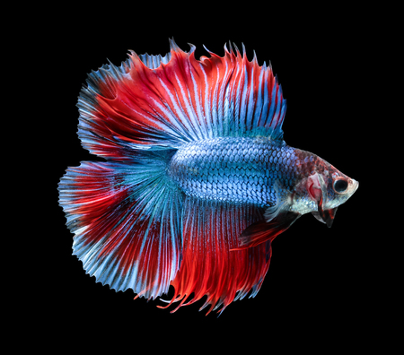 Betta fish, siamese fighting fish, betta splendens (Fullmoon betta )isolated on black background