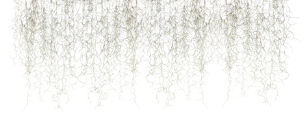 Spanish moss isolate on white 版權商用圖片
