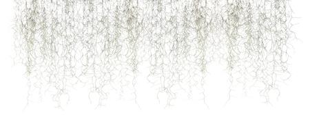 Spanish moss isolate on white 免版税图像