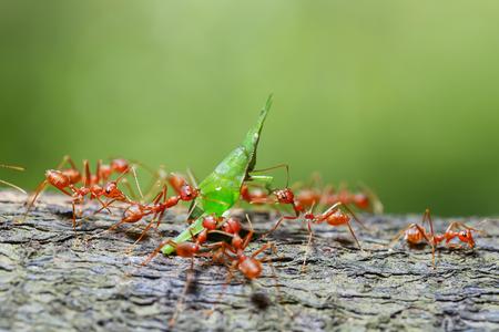 red ants teamwork hunt for food