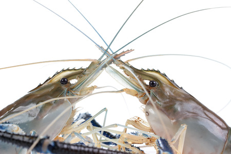 Giant Freshwater Prawn (Macrobra chium rosenbergii), Fresh shrimp