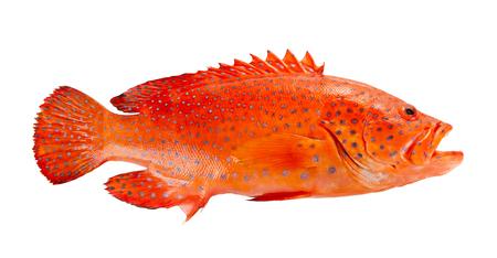 Rotes Korallenbarschisolat auf weißem Hintergrund.