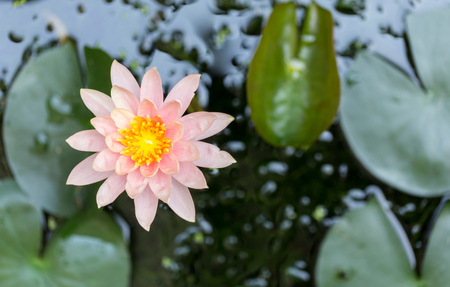 beautiful waterlily or lotus flower in pond 写真素材