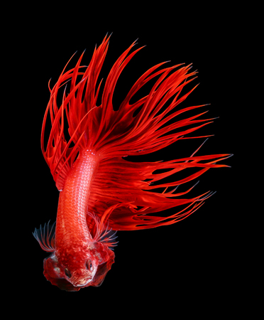 Betta fish, siamese fighting fish, betta splendens isolated on black background 写真素材