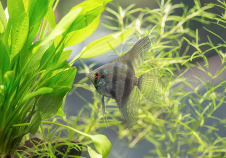 Aquarium Scalare fish floating in the water between plants. Angelfish (Pterophyllum scalare) 写真素材
