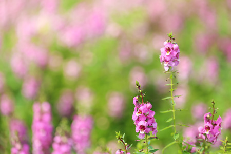 Purple Angelonias flowers (Angelonia salicariifolia). Blooming Purple Angelonias flowers 写真素材