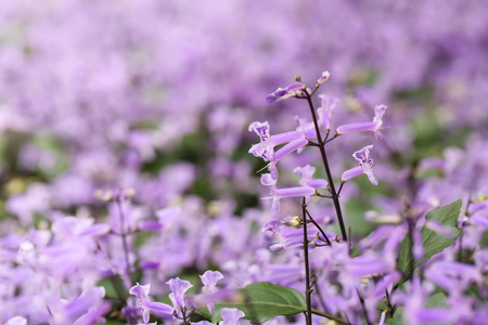 Salvia officinalis  Sage flowers  Salvia flowers  Salvia blooming  Sage flowers  Blossoming salvia  Healthy herb  Tea herbs 写真素材