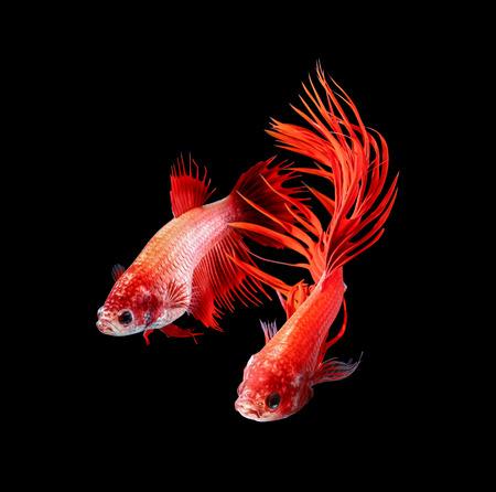 Pez Betta, pez luchador siamés, Betta splendens aislado sobre fondo negro Foto de archivo
