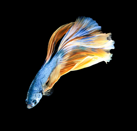 Betta fish, siamese fighting fish, betta splendens (Halfmoon betta )isolated on black background 写真素材