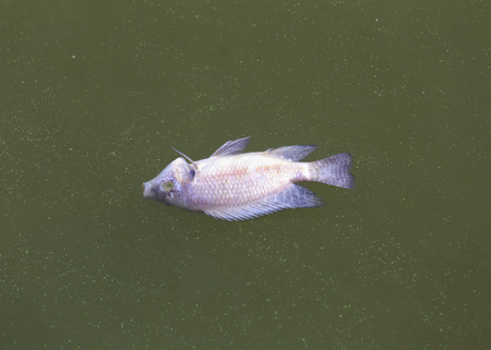 Dead fish floated in the dark water, water pollution. 写真素材