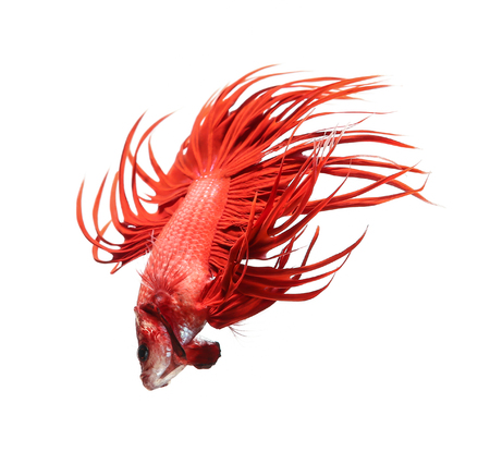 Betta fish, siamese fighting fish, betta splendens (Crown Tail) isolated on white background 写真素材
