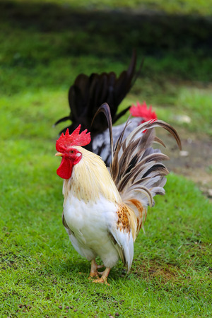 Bantam poultry beautiful bright colors. 写真素材