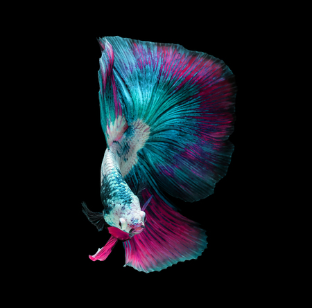 Betta fish, siamese fighting fish, betta splendens isolated on black background with clipping path