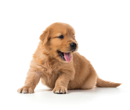 Cute Golden Retriever Puppy isolate on white background. 写真素材