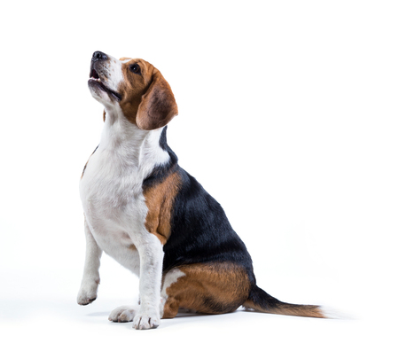 beagle dog isolated on white background 写真素材