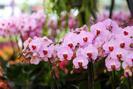 Purple orchids, Violet orchids. Orchid is queen of flowers. Orchid in tropical garden. Orchid in nature. 写真素材