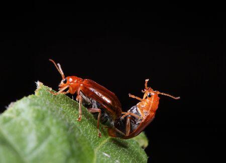 The breeding of ladybug.