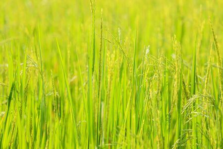 Green rice seedlings cornfield