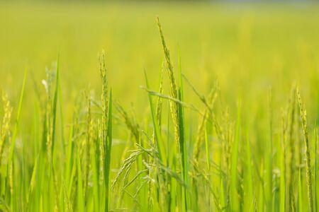 Close up of green jasmine rice
