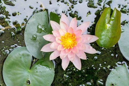 beautiful waterlily or lotus flower in pond Standard-Bild
