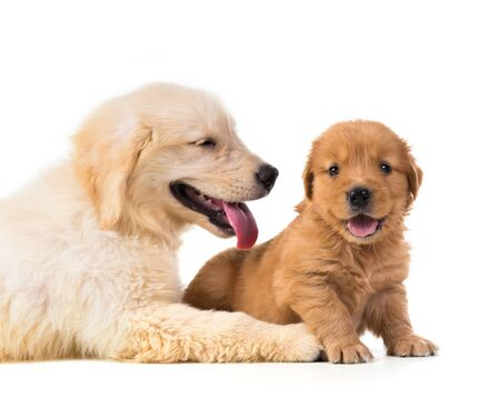 Cute Golden Retriever Puppy isolate on white background. Standard-Bild
