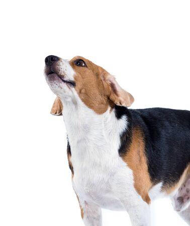 beagle dog isolated on white background Standard-Bild