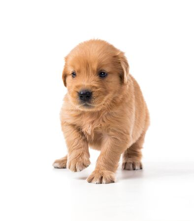 Cute Golden Retriever Puppy isolate on white background. Zdjęcie Seryjne