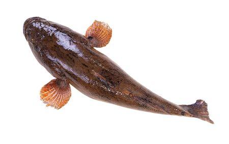 Sleepy goby or Marbled sleeper fish isolated on white background.