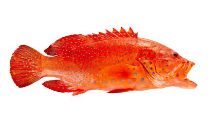 Red coral grouper isolate on white background.