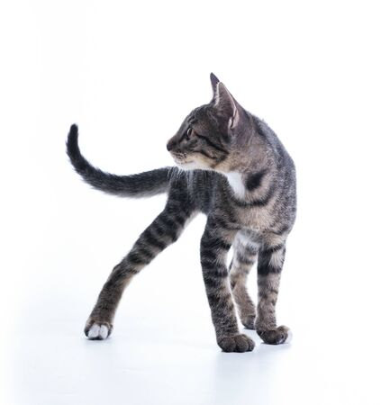 tabby kitten isolate on white