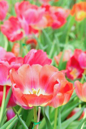 Tulip. Beautiful bouquet of tulips. colorful tulips. Standard-Bild