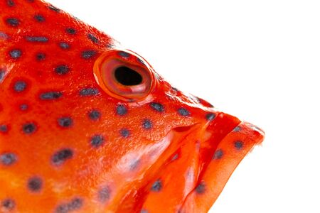 Closes - up red coral grouper.
