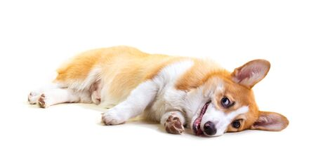 Cute Puppy Corgi is lying on the floor on white background.