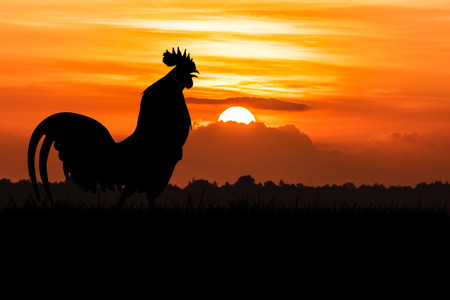 silhouette of Roosters crow on the lawn on orange sunrise background