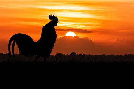 gallo: silueta de gallos cantan en el césped sobre fondo naranja amanecer