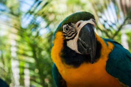 green parrot: blue and yellow parrots on jungle  background,focus beak Stock Photo