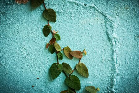 creeping fig: tree on old wall cement texture background Stock Photo