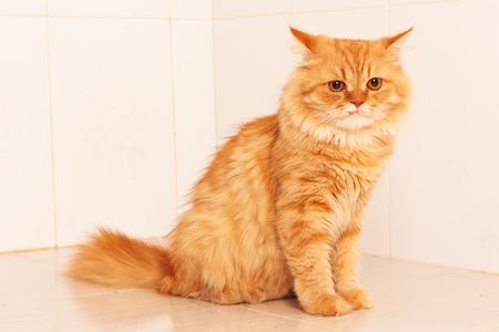 persian: cute orange persian cat
