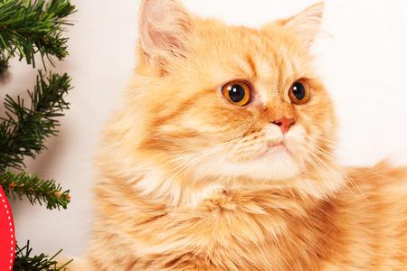 grey eyed: cute orange persian cat