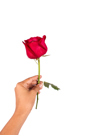 beautiful rose: hand girl hold red rose flower Stock Photo