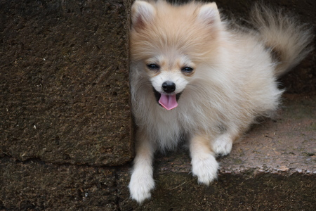 Pomeranian, A cute little dog that ran until tired and sat waiting for the owner. Banco de Imagens
