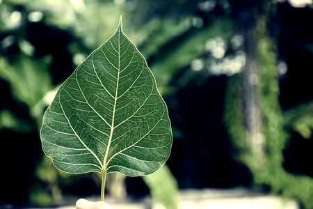 Sacred fig leaves in nature, Sacred fig is an important tree of Buddhism and Brahmin.