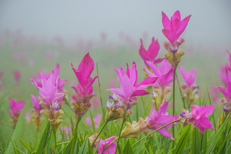 Siamese tulip during the rainy season in Thailand, Pink flower field in nature