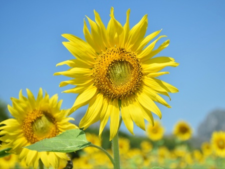 Sunflowers are blooming on the trees in the fields. Banco de Imagens