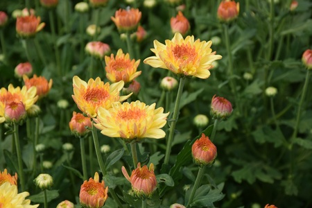 Colorful Chrysanthemum blooming in the garden, background Banco de Imagens