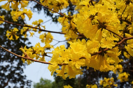 Golden Tree , Tallow Pui, Yellow India, commonly known as Golden Tree, grows well in northern Thailand. Yellow flowers bloom at the end of the flowering branches in summer from March to April.