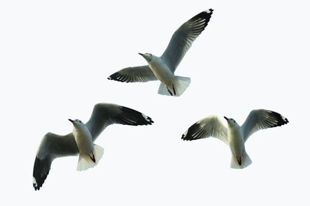 Three seagulls fly on a white background.