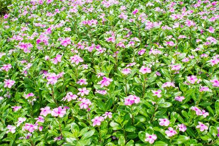sylvan: Pink flower in garden