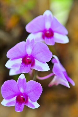 Beautiful purple orchid in thailand photo